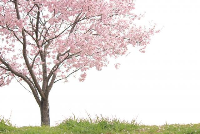 桜は剪定してはいけない?!