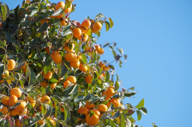 柿剪定に適した時期にはきちんと理由があります