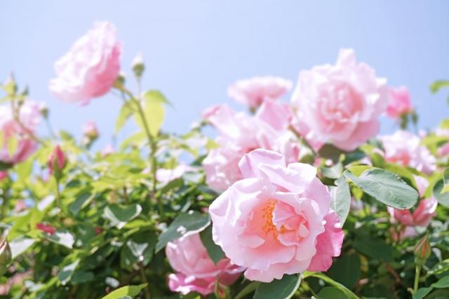 まずはバラ剪定の基本をチェック!夏と冬の剪定時期とやり方