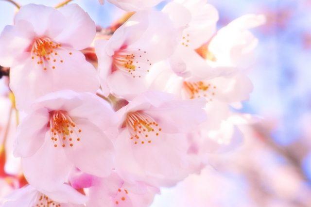桜の挿し木をする方法。桜をもっと増やすために!