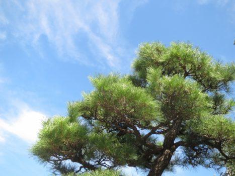 伐採前に行うお祓いの方法 「松の木を切ると縁起が悪いって本当?」