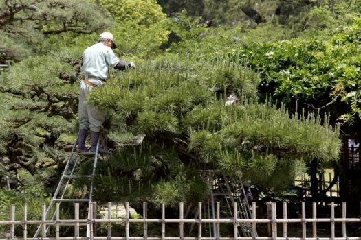 松の伐採方法・手順をまとめます