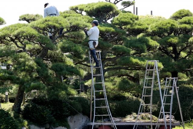 松の木のお手入れ方法を伝授します!基本は芽摘みと剪定