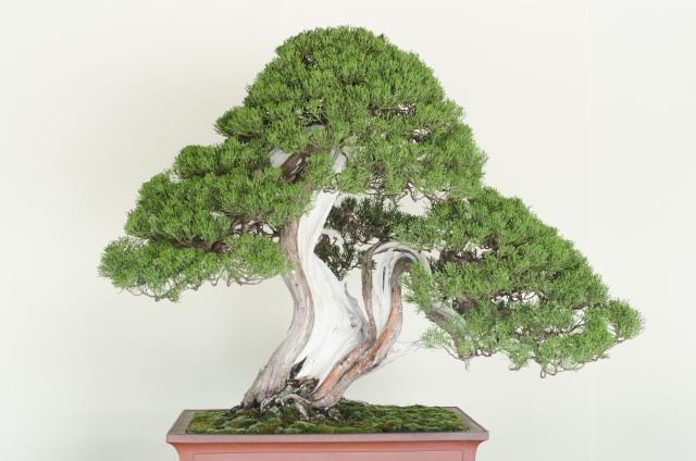 松の木のお手入れポイント