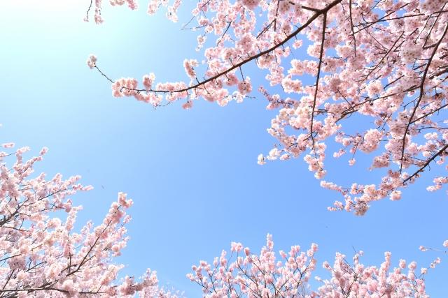 桜の伐採をするならどの時期?