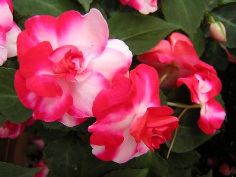 インパチェンスはどんな花?育て方とポイントについて解説します