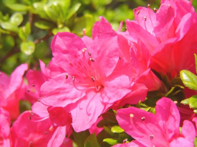ツツジの育て方!植え方や肥料、土壌改良で「花が咲かない」を解決!