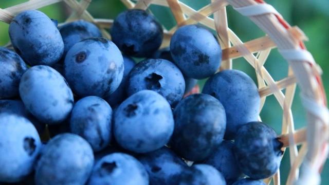 ブルーベリーの剪定時期は夏と冬|甘酸っぱい実の付け方・育て方