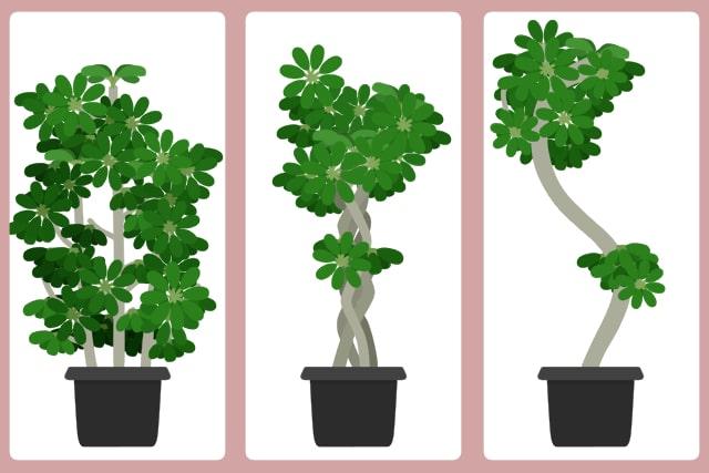 カポック 樹形