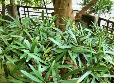 マキの剪定はいつ頃?美しい樹形に整える剪定方法と育て方のポイント
