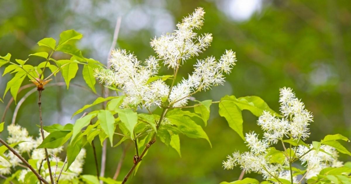 アオダモの剪定時期と方法│庭のおすすめシンボルツリーの剪定のコツ