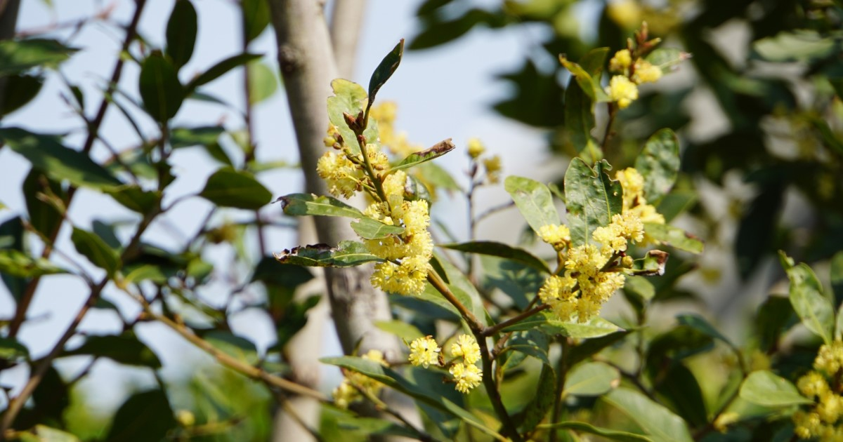 月桂樹の剪定に適した時期は6月!庭木として育てるときの剪定のコツ