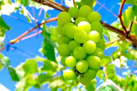 シャインマスカットの育て方|植え付けから収穫までの基本のステップ