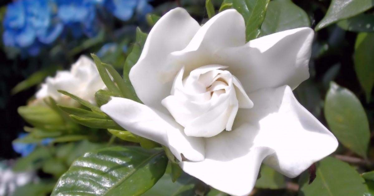 クチナシの剪定|正しい時期に剪定をして美しい花をさかせましょう