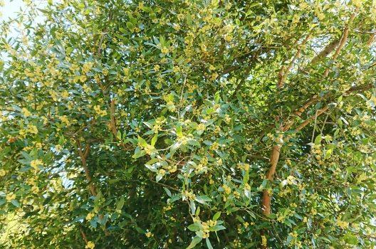月桂樹の剪定方法は2種類!手順や手入れのコツ・病害虫への対処法