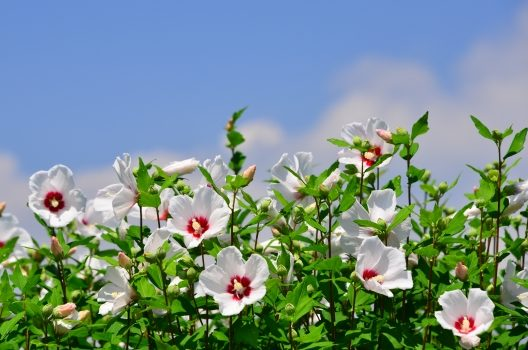 特徴的なムクゲの花のつき方