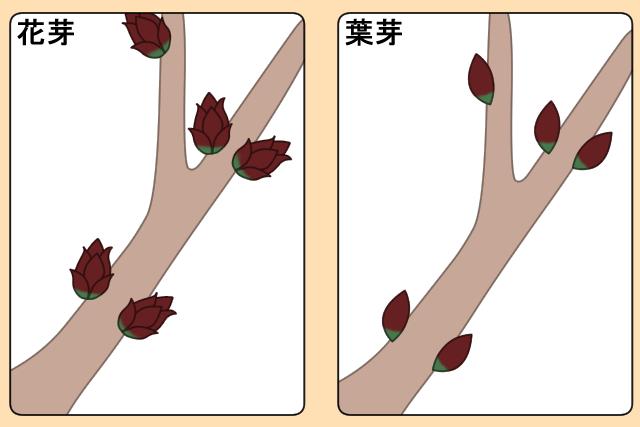 花芽の特徴 葉芽の特徴