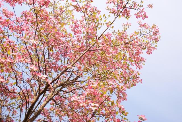 落葉樹のハナミズキ