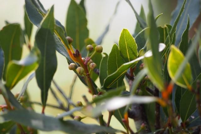 月桂樹で発生する病害虫