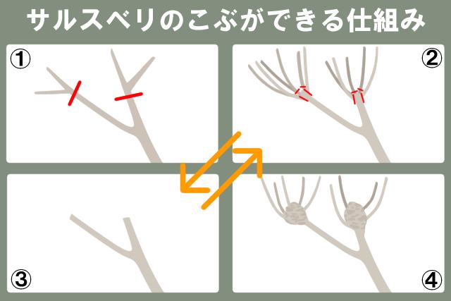 サルスベリのコブができる仕組み