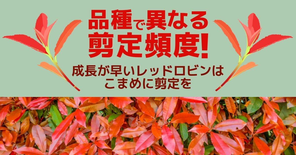 カナメモチ(レッドロビン等)の剪定│適切な時期とコツを伝授!
