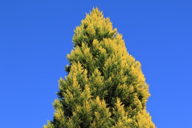 ゴールドクレストは剪定が欠かせない植物