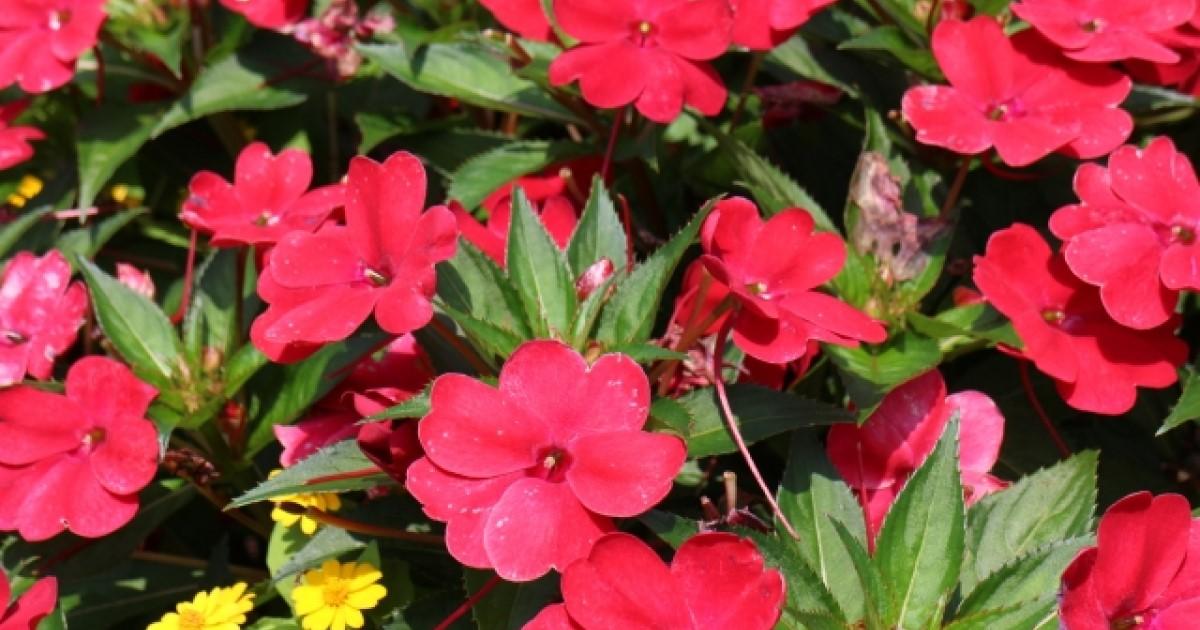 インパチェンス基本の育て方ガイド|キレイに咲かせるためのポイント