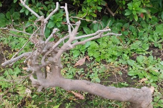 枯れ木の処分は自分でもできる!?枯れ木の伐採手順と処分方法ガイド