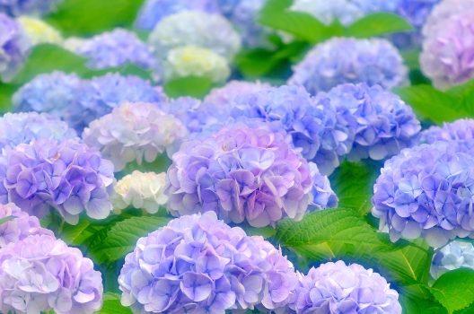 紫陽花ってどんな花?