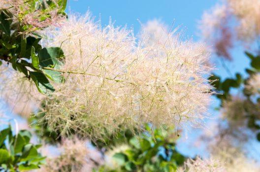 スモークツリーの剪定方法|きれいな形を維持するための育て方まとめ