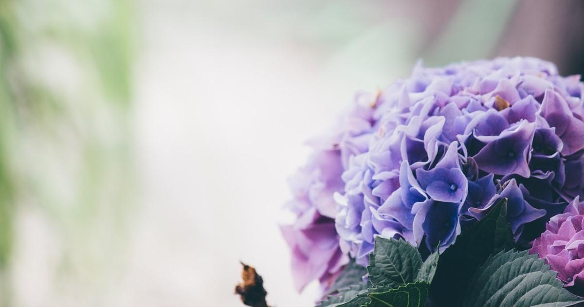 紫陽花を鉢植えで!育て方・手入れ方法|花を咲かせるための秘訣とは