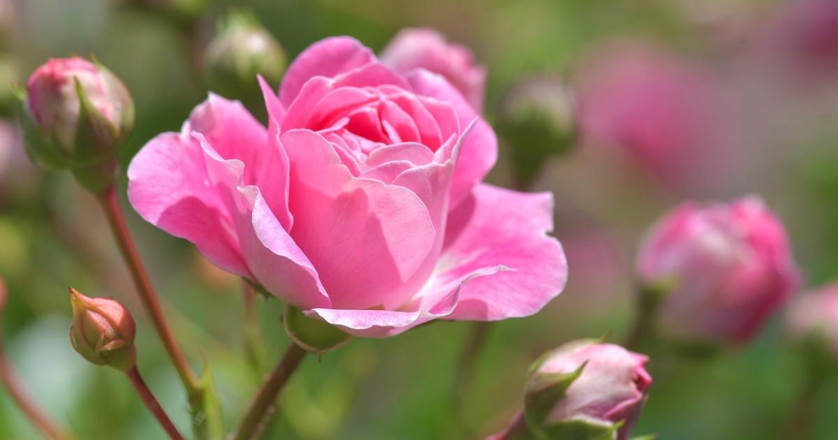 バラ剪定は冬にバッサリと!?春に花を咲かせるための剪定・手入れ法