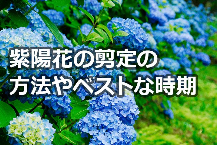 紫陽花の剪定の方法やベストな時期