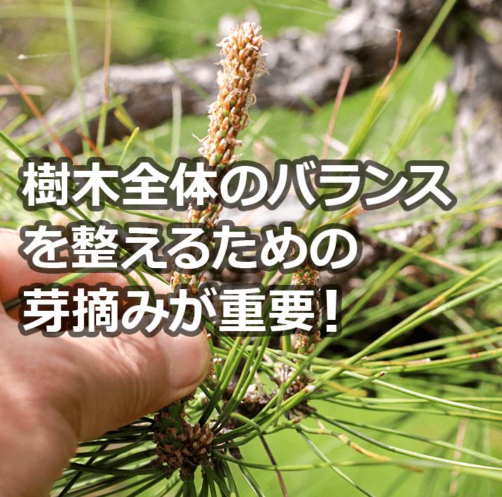 春には「芽摘み(緑摘み)」が大切