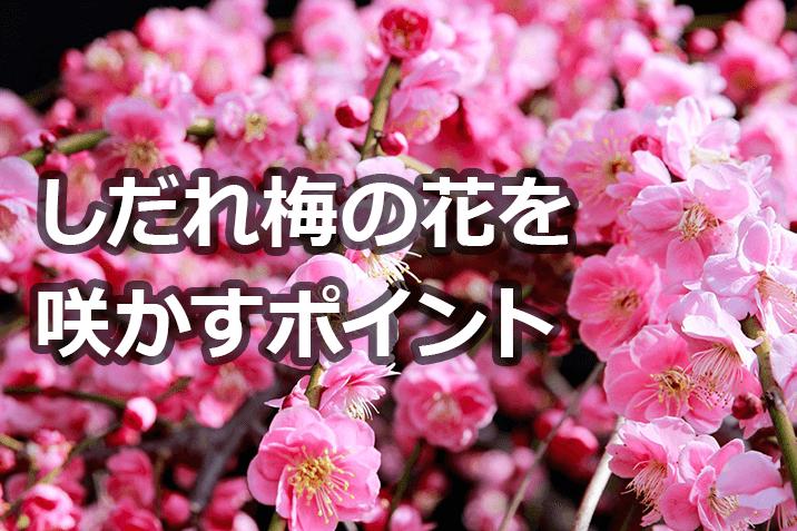 しだれ梅の花を咲かすポイント