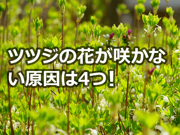 ツツジの花が咲かない!原因は4つ