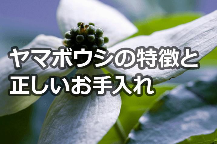 ヤマボウシの花芽と葉芽、ハナミズキとの違いは?特徴とお手入れの重要性