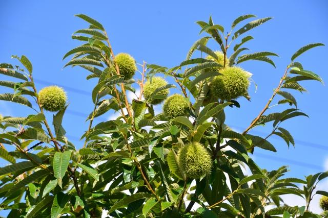 栗の木は剪定で樹高を抑えて手入れしやすく!栽培のポイントも解説