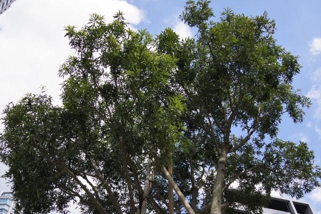 伸びすぎたボトルツリーの幹に剪定は必要!時期や肥料についても紹介