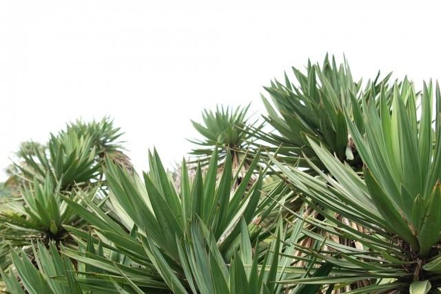 ユッカの剪定方法と時期を紹介!人気観葉植物で素敵なお庭づくりを!