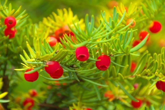 イチイの木真っ赤な実