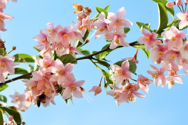ハナカイドウの剪定|きれいな花を栽培するための手入れ方法を解説