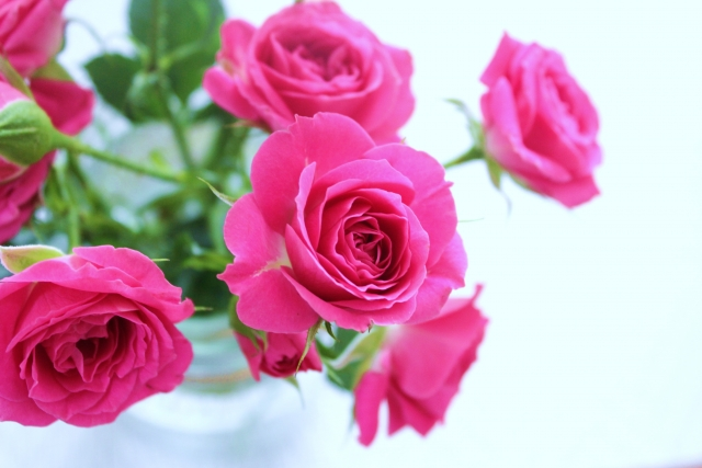 ミニバラの剪定できれいな花を咲かせよう!増やす方法も解説します