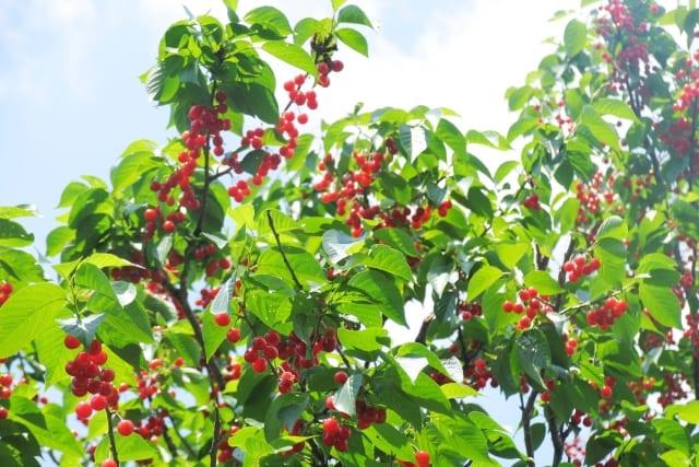 サクランボの木の剪定時期はいつ?基本的な栽培方法や注意点も解説