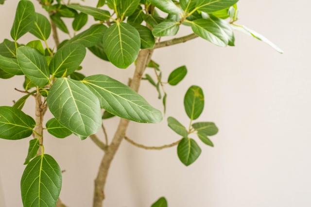 ゴムの木の剪定時期や方法についてご紹介!【観葉植物として人気】
