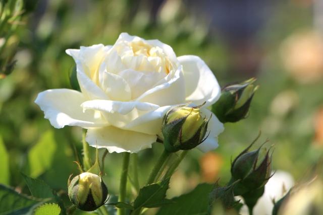 バラの冬剪定はバッサリ切るのがポイント!つるバラの誘引方法も解説