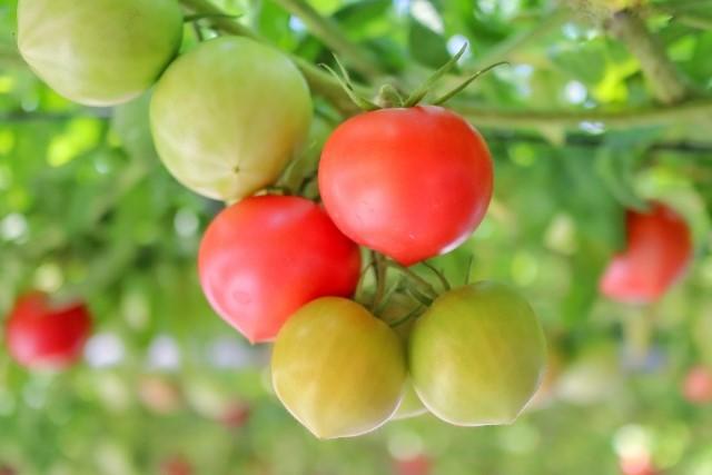 トマトの剪定目的は収穫量を増やすため
