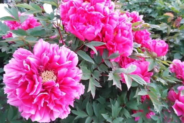 牡丹の剪定時期や栽培方法│芽かきや花がら摘みなどのお手入れも