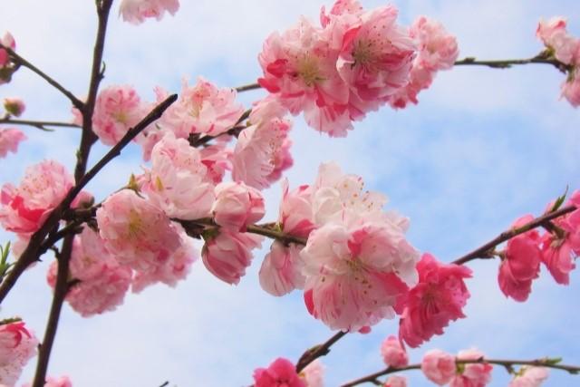 しだれ桃を剪定して美しく仕上げる!剪定方法や育て方などをご紹介