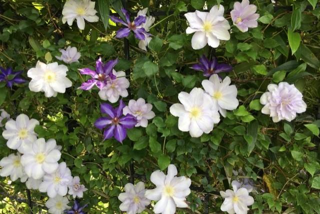 クレマチスの剪定は咲き方で違う!時期や方法を知って花を咲かせよう